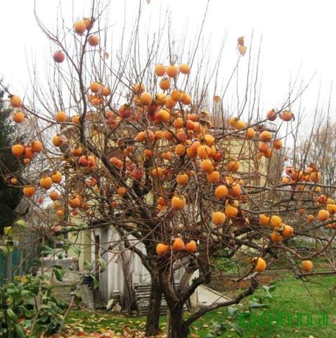 Gennaio 2014 oradireli for Albero di cachi