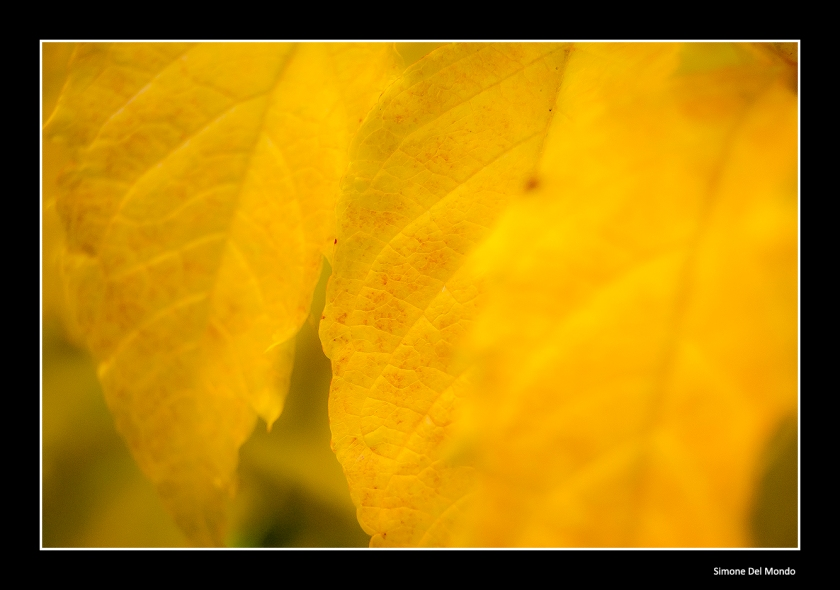 Foglie gialle